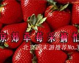 周末游第3期:京郊草莓采摘忙