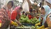谁解蕉农之困? 广西香蕉价格缘何暴跌