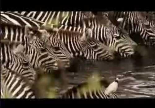 斑马群小心翼翼地来到河边喝水