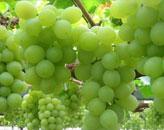 吐鲁番葡萄沟:葡萄变味了
