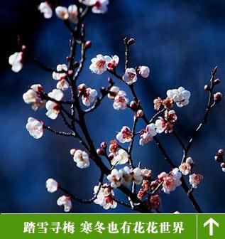 全国赏梅花旅游攻略-搜狐旅游
