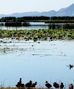 邂逅金雕寻找白天鹅 鸟儿天堂野鸭湖湿地