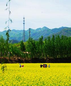 京郊油菜花 2011年密云北庄赏花攻略