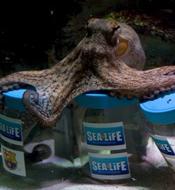 章鱼预测世纪德比