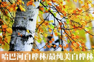 哈巴河白桦林摄影之旅