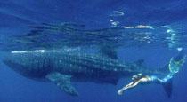 化身美人鱼畅游海底与鲨鱼共舞