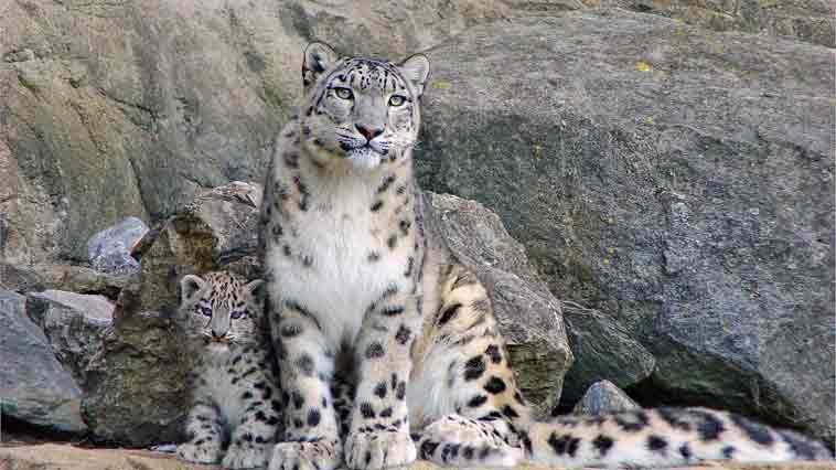 <b>新闻:鞍子河自然保护区拍到完整雪豹视频</b>
