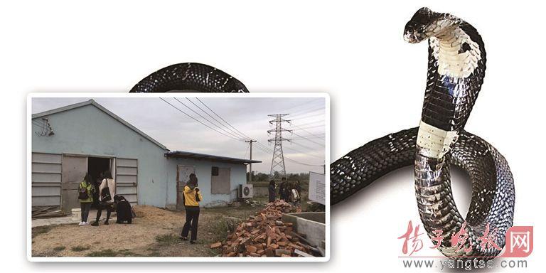 南京出逃眼镜蛇仍有50多条着落不明 出逃眼镜蛇若伤人,谁担责?