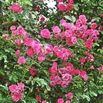 田园姚安-玫瑰之约