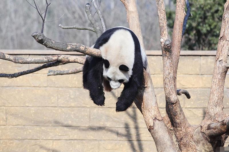 动物界睡姿大比拼猴子最温情熊猫高难度