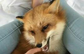 养只小狐狸当宠物是什么体验