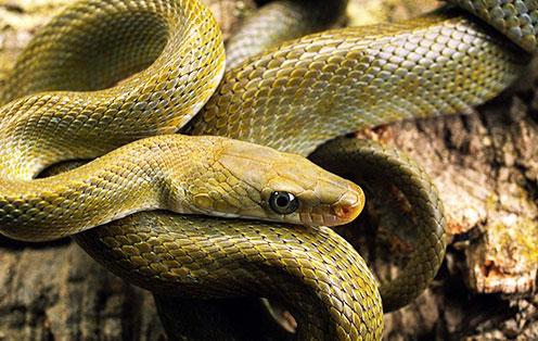罕见蛇群集体自杀真相