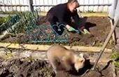 俄国熊宝宝学人种土豆