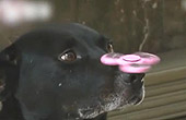 狗狗玩陀螺定力超强