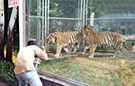 奇葩男子动物园挑逗老虎