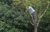 男子路边爬树打白果